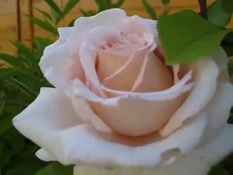 Что такое чайная роза?