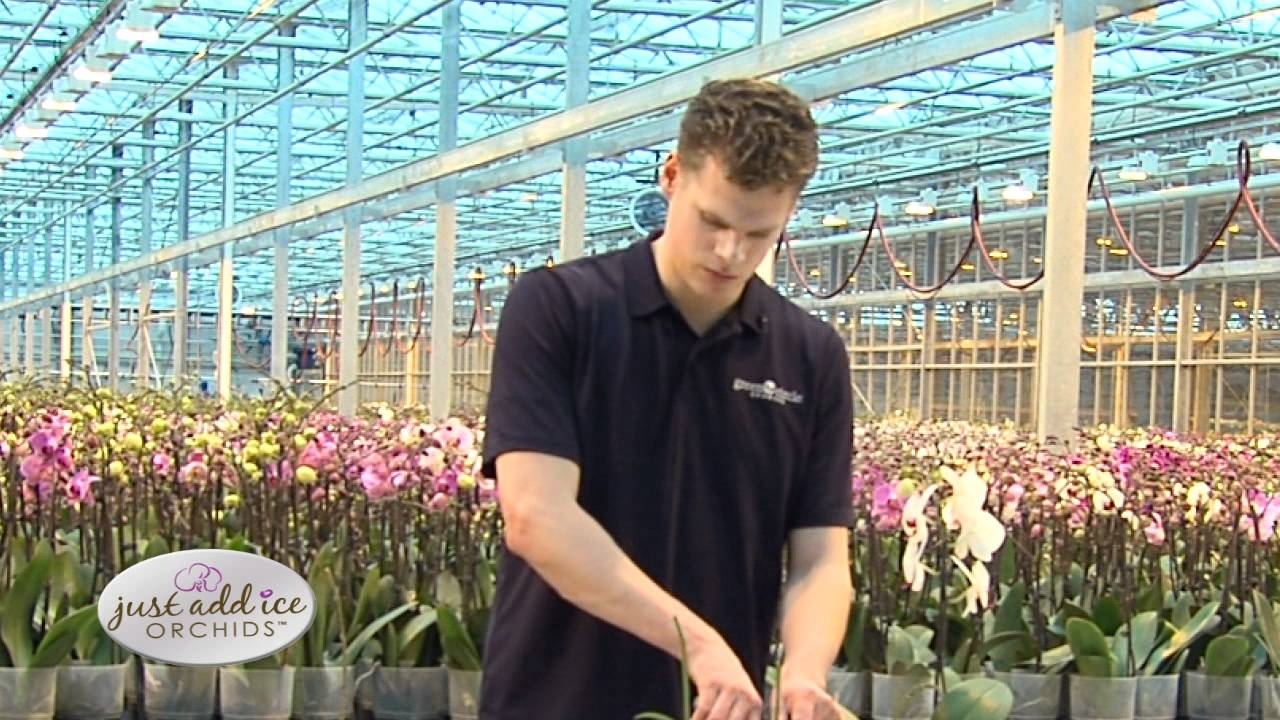 Orchid Care After Blooms Drop Just Add Ice Orchids Youtube