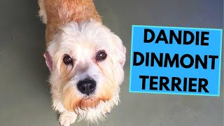 Dandie Dinmont Terrier  TOP 10 Interesting Facts