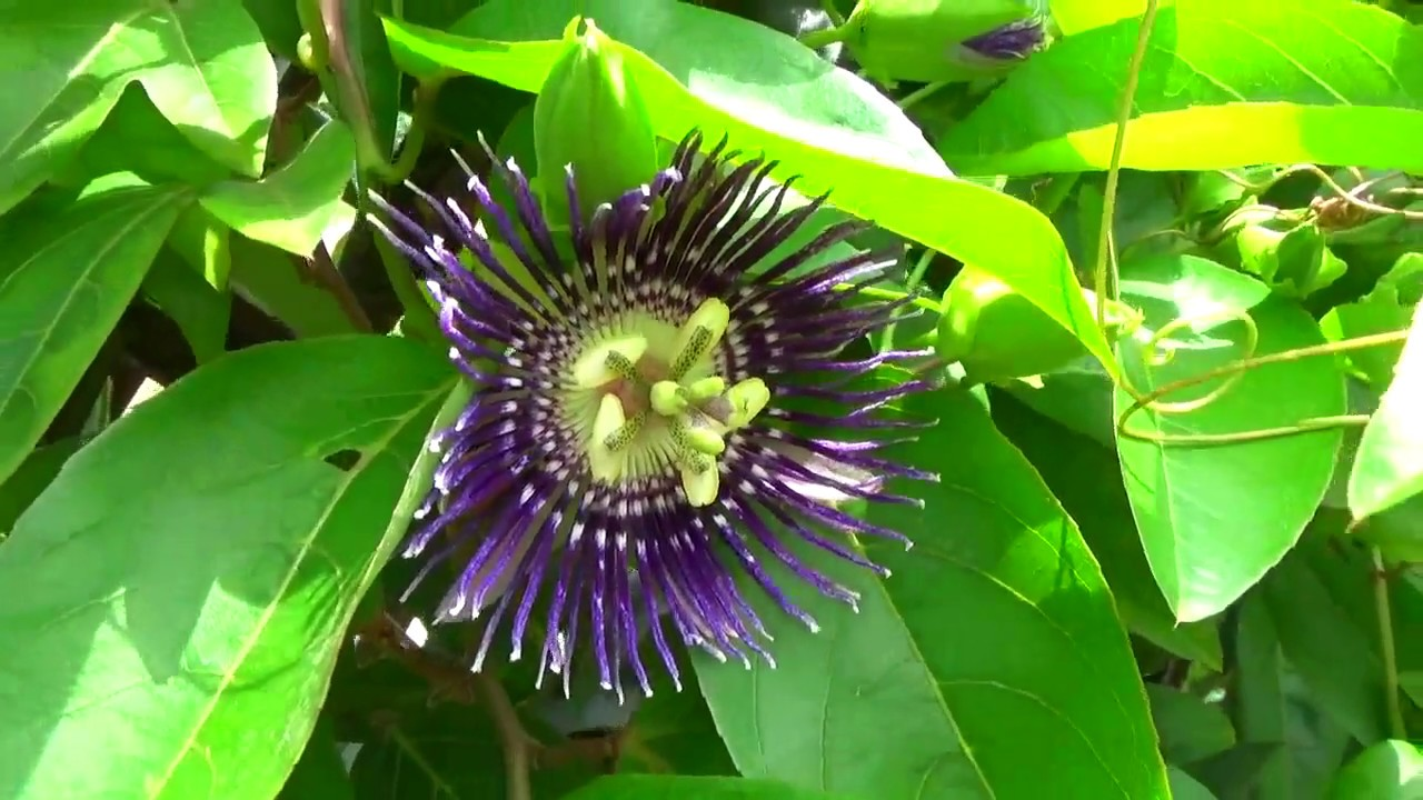 Medicinal Plant Blue Passion Flower Or Krishna Kamal Or Passiflora