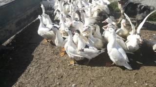 Berger australien travail troupeau