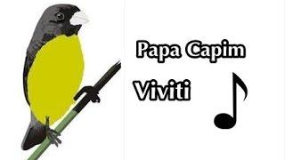 Papa Capim Viviti