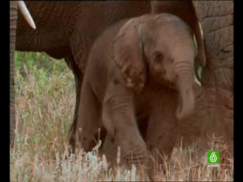 Documental. Elefantes Africanos. Homenaje a las madres del mundo animal 4/17