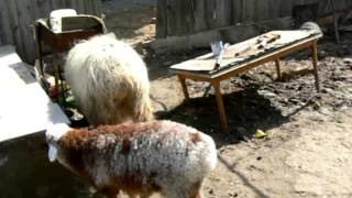 Овцы и собаки.mpg