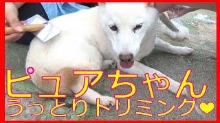 視聴者さんがピュアちゃんのトリミングに来てくれました☆ thumbnail