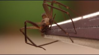 How to Identify and Handle a Brown Recluse - Smarter Every Day 89