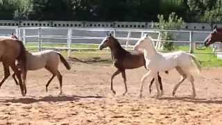 "ООО ""Ахалтекинец"" Продажа ахалтекинских лошадей.Sales of Akhal-Teke horses http://akhaltekellc.com"