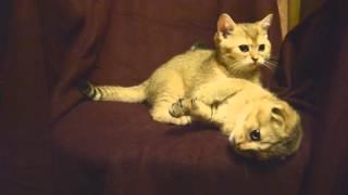 Шотландские золотистые котята питомник Ru-Star Fold