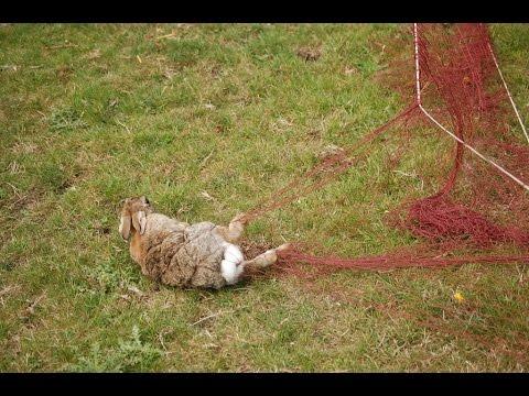 Ferreting In Derbyshire. Vlog 001,ferrets,longnets,rabbits And The Butcher!