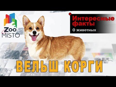 Вельш-корги - Интересные факты о породе собаки   Порода собаки вельш-корги