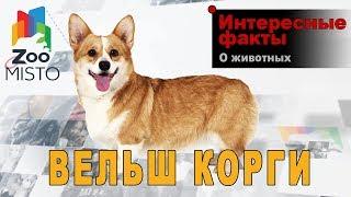 Вельш-корги - Интересные факты о породе собаки | Порода собаки вельш-корги