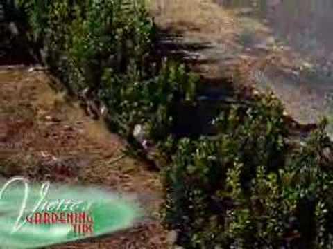 Viette's Gardening Tips - Boxwoods