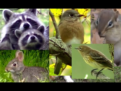 BEST Video For Cats Ever!  Birds,Chipmunks, Squirrels, and Rabbits,