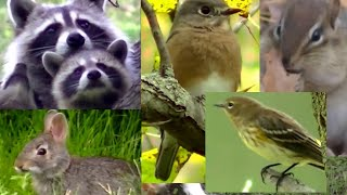 BEST Video For Cats Ever!  Birds,Chipmunks, Squirrels, and Rabbits,(BEST Video For Cats Ever! Birds,Chipmunks, Squirrels, and Rabbits,, 2015-10-27T02:22:17.000Z)