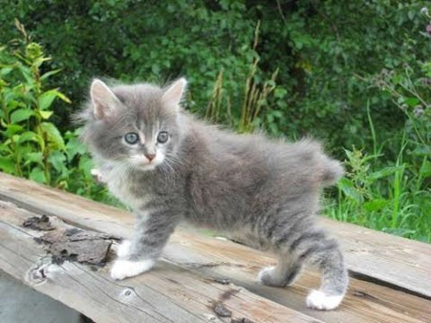 Animal Planet   :  Cats 101 ~ Kurilian Bobtail