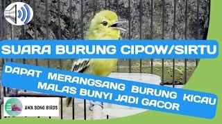 Gambar cover Suara Burung CIPOW/SIRTU dapat merangsang burung kicau malas bunyi jadi GACOR