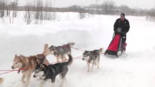 видео Собачьи упряжки