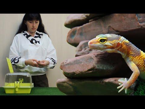 Эублефар. Самая милая ящерица. Уход, кормление и содержание леопардового геккона в террариуме.