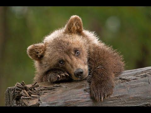 Медвежонок и пума.