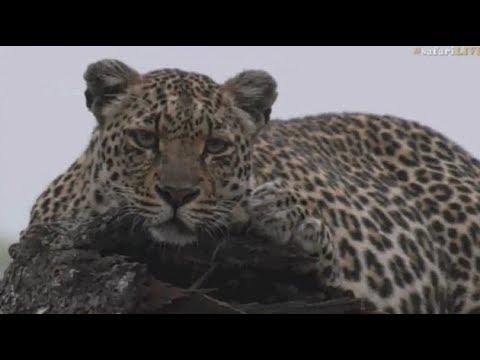 Pt 1 Safari Live's Sunrise Safari Drive at 5:30 AM on Oct 17, 2017 ( Hosana & Shadow )