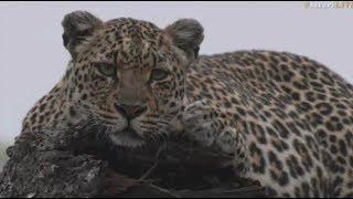 Pt 1 Safari Live's Sunrise Safari Drive at 5:30 AM on Oct 17, 2017 ( Hosana & Shadow ) thumbnail