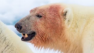 6 Animals That Could Defeat a Polar Bear