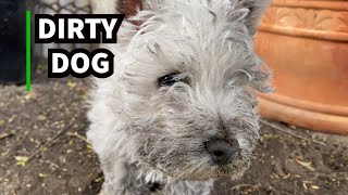Dirty Dog  West Highland Terrier Puppy Digging