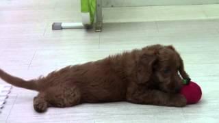 我が家にオーストラリアン・ラブラドゥードルがやって来る。 愛犬メイと...