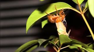 蝉の羽化のタイムラプス動画です。