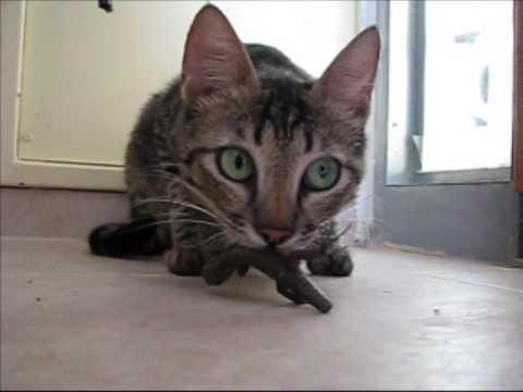 kitten nasal congestion