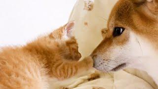 子猫、先住猫達のお部屋にお引越し!寛ぐ時も子猫が見える場所にいる柴犬 Kitten moved to family room