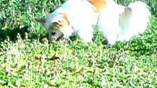 Miss Katy: Little Blind Dog Explores Big Yard Thumbnail