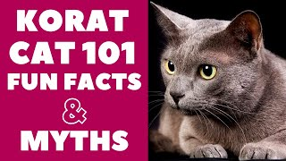 Korat Cats 101 : Fun Facts & Myths