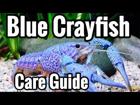 Electric Blue Crayfish Care - Aquarium & Tank Mates
