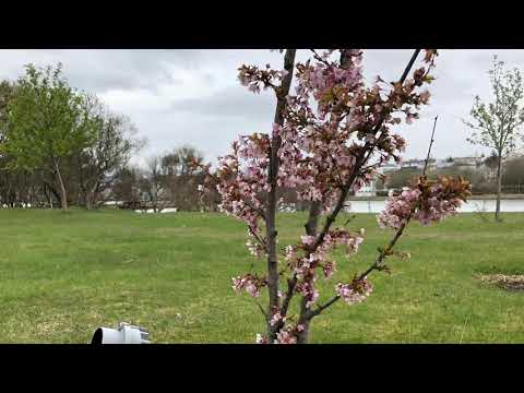 Japanese cherry trees blooming in downtown Reykjavik Iceland