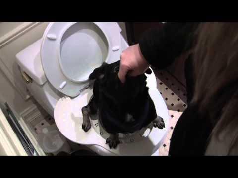 Smart Pug uses Real Toilet