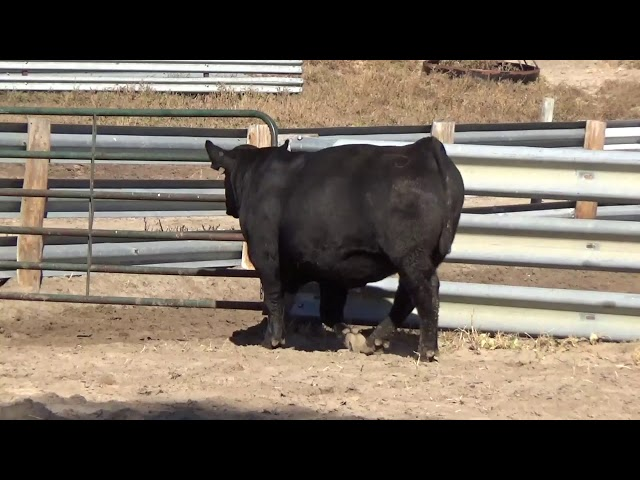 Connealy Angus Lot 36