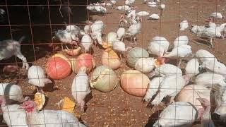 Рацион животных фермы