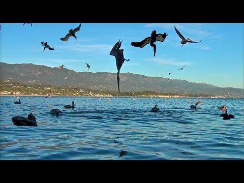 Pelican Feeding Frenzy