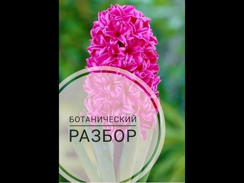 Гиацинт.Разбор цветка.Видеоразбор цветов от Елены Гуреевой.
