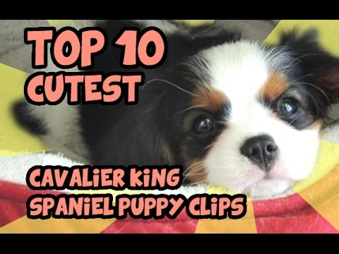 TOP 10 CUTEST CAVALIER KING CHARLES PUPPY VIDEOS