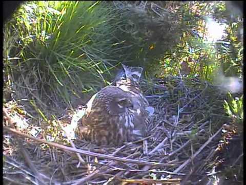 Hen harrier at the nest