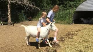 Riding Saanen Goat 5