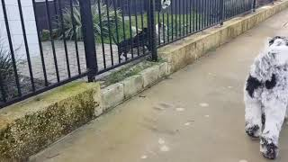 Dogs barking behind a fence