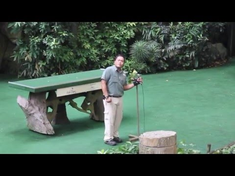 Adorable Parrot Singing Chinese Song At Jurong Bird Park, Singapore 可愛鸚鵡唱《客人來》