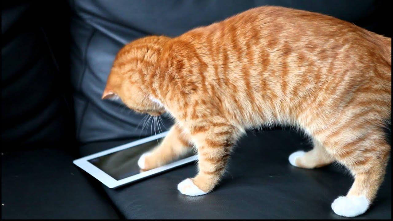 Во что играют коты на планшете