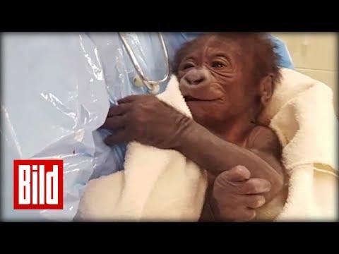 Gorilla-Baby lacht immer - Notfall-OP im Zoo