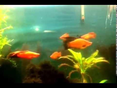 Гигантская рыба- меченосец. Самец или самка?!