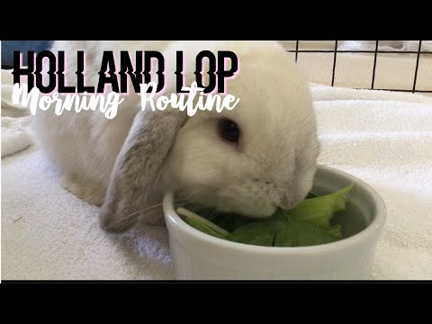 Holland Lop Morning Routine! | Coconut Bunny