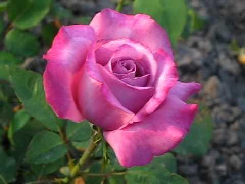 Саженцы роз почтой.